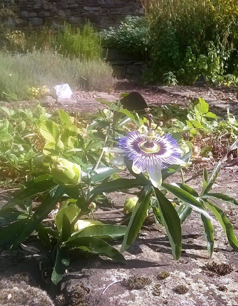 pflanzentauschaktion-passionsblume
